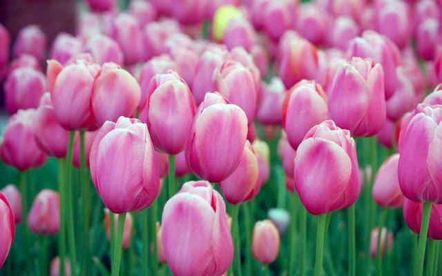 Tulips-Wallpaper-1